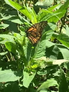 Monarch in the garden!