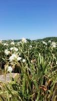 Rocky shoals spider lilies