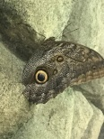 A really cool owl butterfly