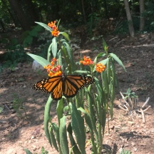 Monarchs in the garden!