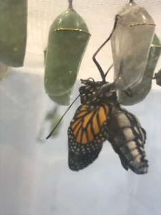 We still have monarchs emerging!