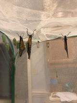 Lots of butterflies emerged