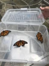 Three more butterflies released this week!