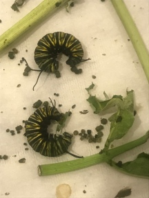 Our first batch of monarch caterpillars did not make it. They went into the J formation but they all fell. Sad day.
