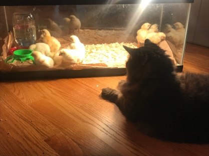 The cat taking his turn chick sitting