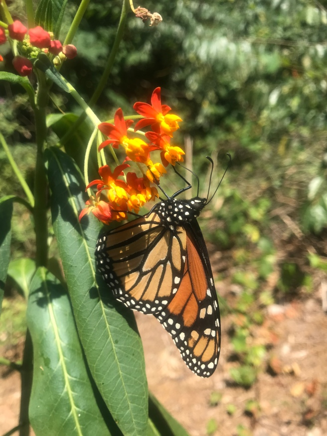 Our first monarch!