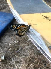 Monarchs are still emerging