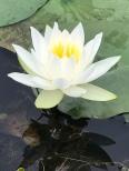 Beautiful lotus flowers!