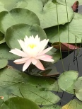 Beautiful lotus flowers!
