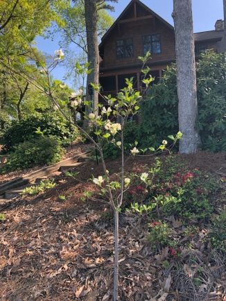 Dogwoods blooming!